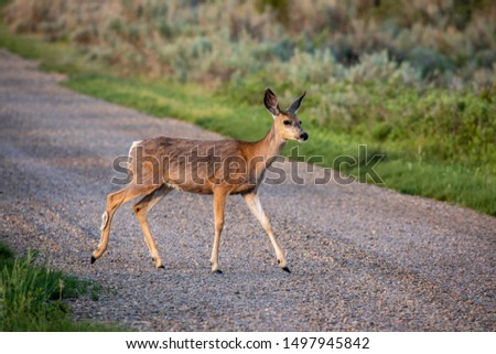 Roe Deer in the wilderness of Alberta in the wilderness of Alberta #1497945842
