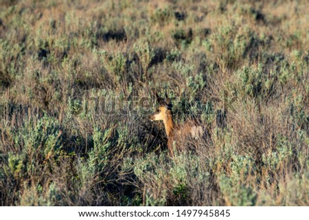 Roe Deer in the wilderness of Alberta in the wilderness of Alberta #1497945845