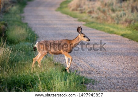 Roe Deer in the wilderness of Alberta in the wilderness of Alberta #1497945857