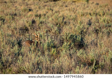 Roe Deer in the wilderness of Alberta in the wilderness of Alberta #1497945860