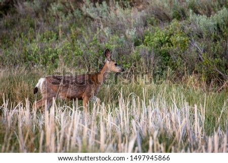 Roe Deer in the wilderness of Alberta in the wilderness of Alberta #1497945866