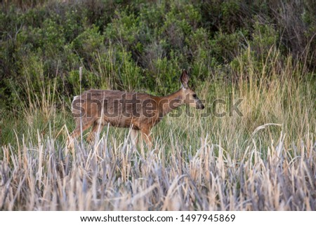 Roe Deer in the wilderness of Alberta in the wilderness of Alberta #1497945869