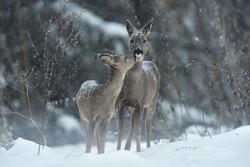 Roe deer kiss. Animal love.