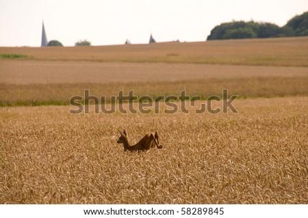 Roe deer leaping across the field of wheat.