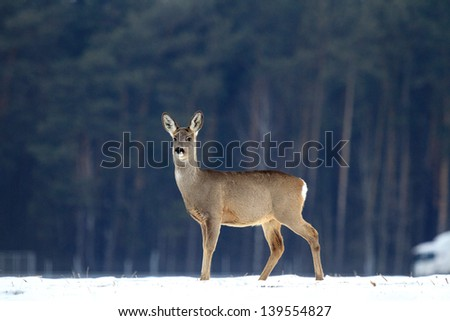 Stock Photo Roe deer over the forest background in sunny day