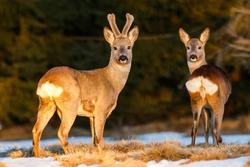 Roe deer pair on the evening pasture enlighten with warm light. Roe deer buck with doe at the end of winter. Roe deer pair on the snow. Capreolus capreolus, wildlife, Slovakia.