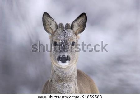 Roe deer portrait in winter