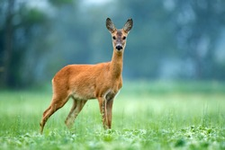 Roe deer standing in a field