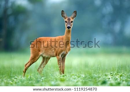 Roe deer standing in a field