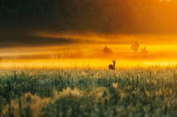 Roe deer with horns running over agriculture field during sunrise in summer morning with fog