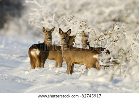 Roe deers in winter