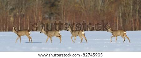 Roe deers walking