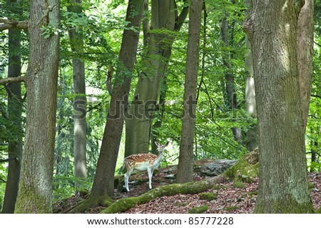 Roe Doe Deer  in the forest