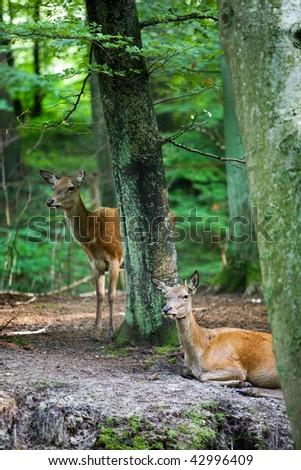Roe Doe Deer resting in the forest