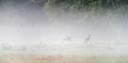 Roebuck chasing female deer in misty meadow.
