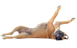 rolling boxer in front of a white background