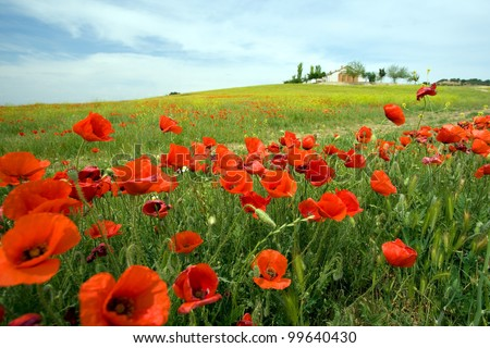 Rolling cornfield with poppies