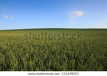 Rolling green wheat field with clear blue sky and a few wispy clouds. Soft shadows moving over the field