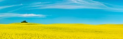 Rolling Hills with Endless Field of Oilseed Rape under Blue Sky