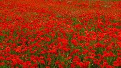 Rolling Poppy Fields in Flanders WW1 world war 1 battlefield rememberance panoramic banner background image