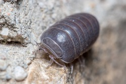 Roly poly bug, Armadillidium vulgare, walking on a concrete floor under the sun