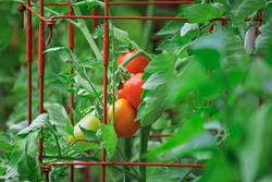 Roma tomatoes growing in tomato cages ripening on the vine in an organic home kitchen garden