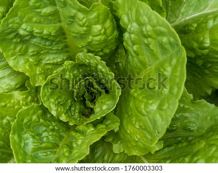 Romaine lettuce up close in macro photography shot, growing in a garden.  Green leafy vegetables, home grown and ready for a salad! Photo stock ©