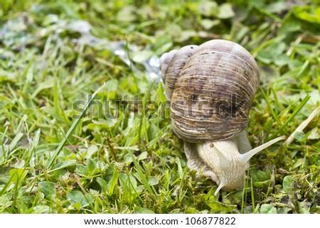 Roman, Burgundian or Edible Snail (Helix pomatia) or escargot a large edible European snail. It is a terrestrial pulmonate gastropod mollusk - stock photo