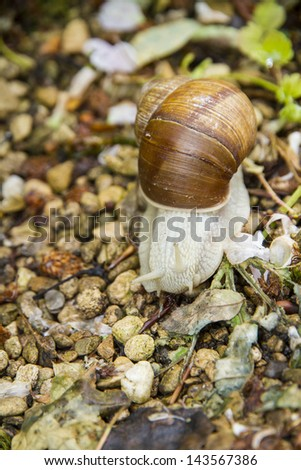 Roman, Burgundian or Edible Snail (Helix pomatia) or escargot which is ediblel. It is a terrestrial pulmonate gastropod mollusk