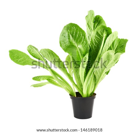 Roman salad lettuce green leaves in a black plastic pot isolated over white background