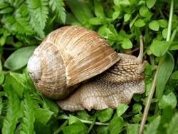 Roman snail, Burgundy snail, edible snail or escargot. Outdoor photography with close up.