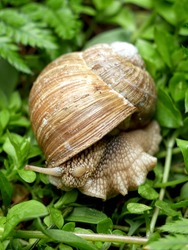 Roman snail, Burgundy snail, edible snail or escargot. Outdoor photography with close up.