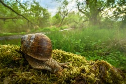 Roman snail, garden snail in the natural environment, wide macro, close up, Helix pomatia