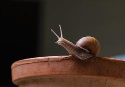 Roman snail on the edge of the pot