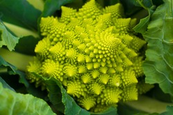 Romanesco broccoli. Broccoli varieties of cauliflower mixture. It looks very beautiful and amazing. Although the look is bizarre, but filled with lots of nutrients