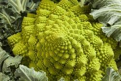 Romanesco broccoli. Roman cauliflower. Romanesque cauliflower with his leaves. Fractal design