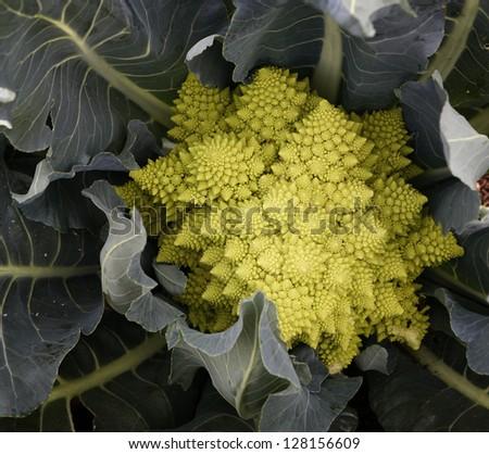 Romanesco cabbage