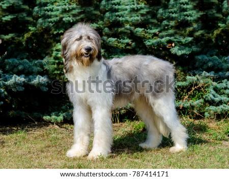 Romanian Shepherd Dog full face. Romanian Mioritic Shepherd Dog is on the grass. #787414171