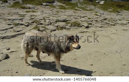 Romanian shepherd dog in the Carpathian mountains #1405766048