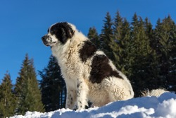 Romanian shepherd dog in the forest, on a sunny winter day. Ciobanesc Romanesc de Bucovina with snow and fir trees in the background