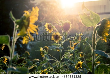 romantic and relax sunflowers...