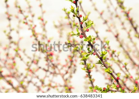 Romantic blooming bush branches in spring blurry close-up background. Floral tender backdrop with pink flower buds and fresh small leaves. Shallow focus