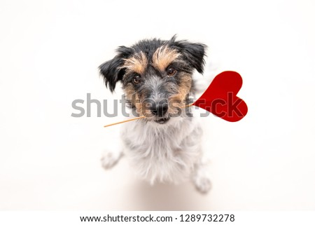 Romantic Dog - Little cute Jack Russell Terrier doggy with a heart as a gift for Valentine in the mouth is looking up. Picture isolated on white.
