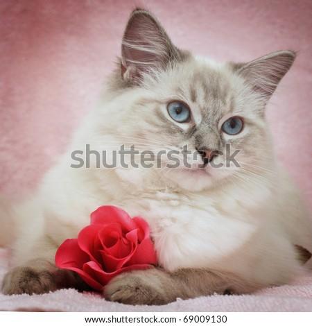 romantic ragdoll kitten - stock photo