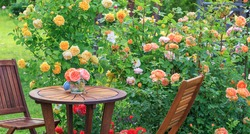 Romantic sitting area in the rose garden, round wooden table and chairs near the large flowering bushes of English roses