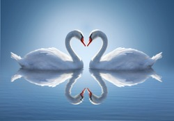 Romantic two swans. Water reflection ob blue background.