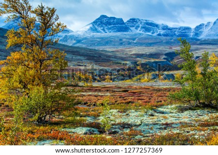 Rondane National Park, Hedmark county: Trees and plants with autumn colors. Snow on the mountain tops. Reindeer lichen on the ground. #1277257369