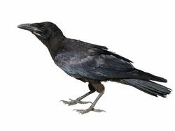 Rook isolated on white background Corvus frugilegus