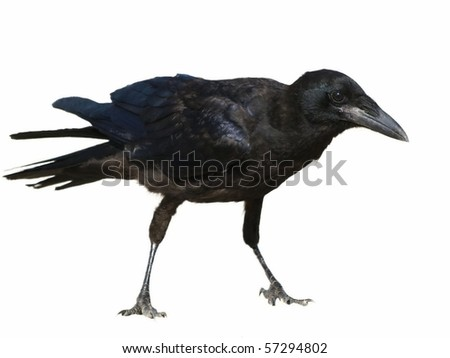 Rook isolated on white background Corvus frugilegus
