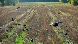 Rooks and Jackdaws collect the remaining grain on the mown field of grain (stubble remains). Autumn Landscape after harvest